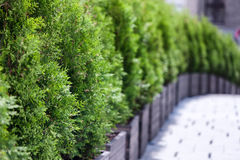 Several green arborvitae in perspective. Several green arborvitae in pots in the exhaust line perspective on the street near the house Royalty Free Stock Photo