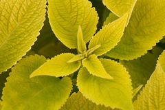 Several green leaf coleus close-up of backlighting Stock Images