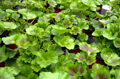 Several green Muscat, Latin name `Pelargonium` Royalty Free Stock Image
