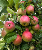 Several green and red apples on the tree Royalty Free Stock Images