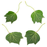 Several groups four bright green ivy leaves isolated on white ba. Ckground Stock Photography