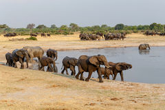 Several heard of African elephants at waterhole Royalty Free Stock Photo