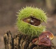 Several horse chestnuts stock image