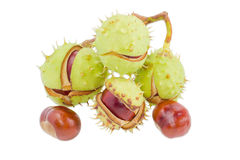 Several horse chestnuts on a light background. Branch with several ripe horse chestnuts in its green cracked prickly shell and two cleared from husk chestnuts Stock Image