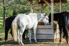 Several horses chewing hay in the pen. stock photo