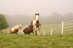 Several horses coming over rise Stock Photography
