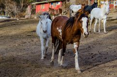 Several horses on a farm royalty free stock images