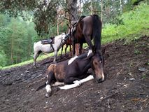 Several horses are standing near a tree in the mountains next to a foal royalty free stock images