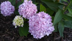 Several hydrangea blooms royalty free stock photography