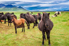Several Icelandic horses in the mountains Royalty Free Stock Photo