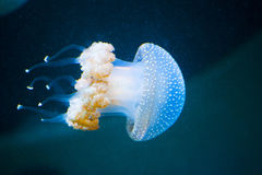 Several jellyfishs moving in water Stock Images