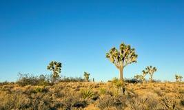 Several Joshua trees Yucca brevifolia Royalty Free Stock Photo