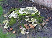 Several kinds of fungi grow on a tree stum at Arley Arboretum in the Midlands in England stock photos
