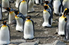 Several King Penguins Stock Photos