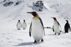 Several king penguins in the snow on South Georgia island Stock Images
