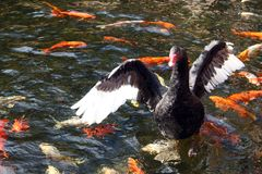 Several koi fishes swim around a black swan. With open wings Stock Images