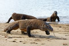 Several Komodo dragons on the beach stock images
