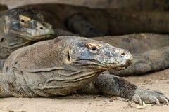 Several Komodo Dragons hiding under a house Royalty Free Stock Photos