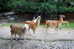 Several llamas. Sepia photo. Stock Photos