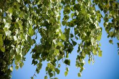 Several large birch branches with green foliage hang down. A blue bright sky on a background, sunny weather, a background of small leaves royalty free stock images