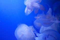 Group of jellyfish on blue background stock images