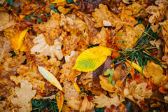 Several large leaves on the background with autumn recent colorful foliage Royalty Free Stock Photos