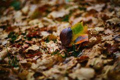 Several large leaves on the background with autumn recent colorful foliage Royalty Free Stock Photo