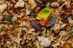 Several large leaves on the background with autumn recent colorful foliage Stock Image