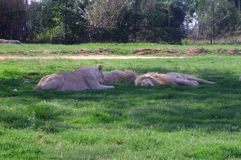 Several large lions rest on the green grass. South Africa Stock Images