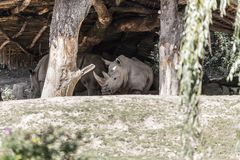 Several large rhinoceros. Hide from the midday sun under a wooden canopy Stock Image