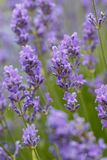 Several lavendar flowers in a garden.