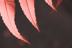 Several leaves in light of evening sun in color of Living Coral royalty free stock image