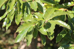 Several leaves of the sweet chestnut (Castanea sativa) Royalty Free Stock Photography