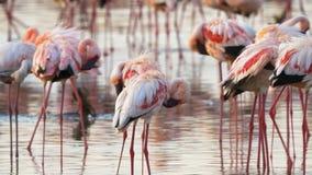 Several lesser flamingos preening their feathers at the edge of lake bogoria