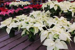 Several low tables covered with choice of healthy poinsettia plants royalty free stock photo