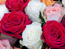 Several many-colored roses Stock Images