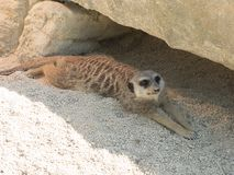 Several meerkats in the zoo, sitting on sand stock photography