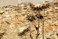 Several milk thistles (Silybum marianum) very dry Stock Photography