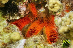 Several molluscs Flame scallop Ctenoides scaber Stock Photo