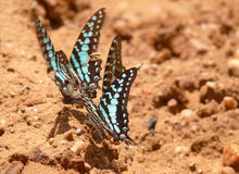 Several multicolored colorful butterflies. Stock Photography