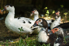 Several multicolored ducks Royalty Free Stock Photography