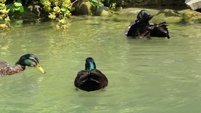 Several multicolored ducks swim in a lake in summer in slo-mo stock footage
