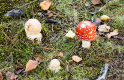 Several musrhooms in forest. Several poisonous toadstools in forest. Red, white and yellow mushrooms among leaves, grass, moss and roots Royalty Free Stock Image