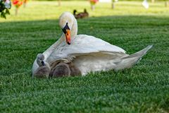 Mute Swan Cygnets Getting Tucked In Stock Images