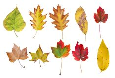 Several natural colored autumn leaf from tree isolated on white. Background dry leaves royalty free stock photo