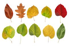 Several natural colored botany garden leaf from tree isolated. On white background stock images