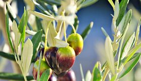 Several olives. Hanging from the branch of an olive tree Royalty Free Stock Photography