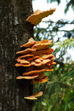 Several orange mushrooms growing on a tree Stock Image