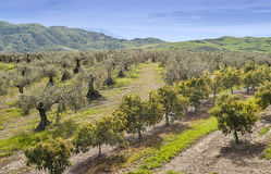 Orange and olives trees Stock Photo