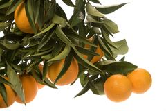 Several Oranges growing in cluster Stock Photos